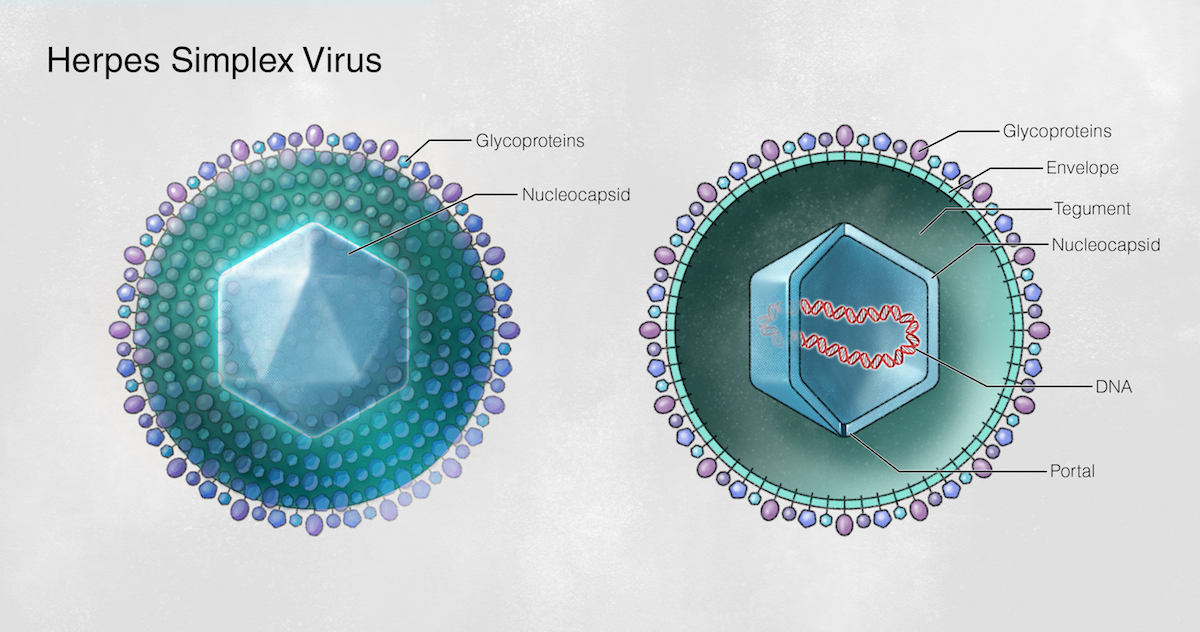Herpes simplex virus is approximately 150 to 200 nm diameter.  The basic structural features for HSV-1 and HSV-2 are the same. The image on left depicts intact virion and image on right shows cross-sectional view.<div>Illustration by Jared Travnicek, Cognition Studio</div>