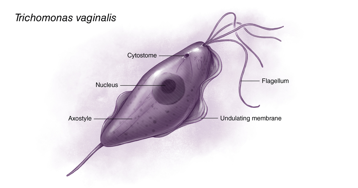 <em>Trichomonas vaginalis</em> is a pear-shaped flagellated protozoan parasitic organism that is approximately 10 by 7 micrometers. The organism achieves a quivering motion via the anterior flagella and the undulating membrane.  After attaching to vaginal epithelial cells, the organism takes on a more ameboid-like appearance.<div>Illustration by Jared Travnicek, Cognition Studio</div>