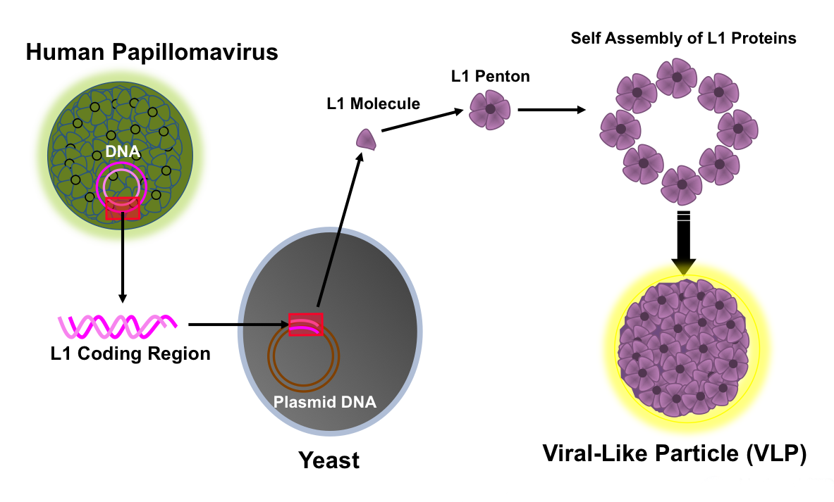 Conceptual rendition of production of human papillomavirus vaccine. The vaccine process involves recombinant synthesis of major capsid L1 proteins that self-assemble as a shell of 72 pentameric capsomeres to form viral-like particles (VLPs). The assembled pseudovirus is very similar to the native human papillomavirus and is highly immunogenic.<div>Illustration by David H. Spach, MD</div>